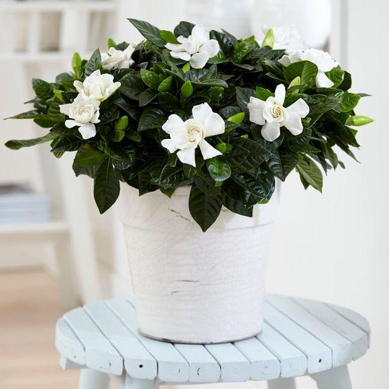 Badkamerplant Kaapse Jasmijn
